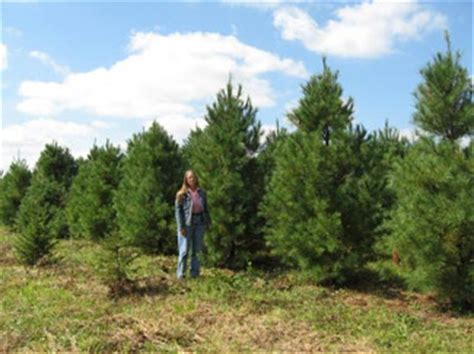 Small White Trees For Sale - kentucky white pine trees for sale hutton loyd tree farm