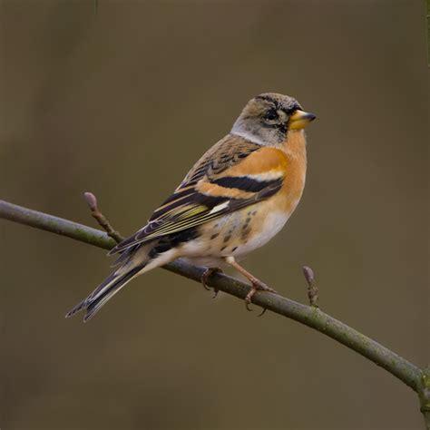 what to keep keep brambling birdimage