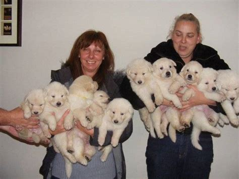 utonagan puppies for sale wolfalike utonagan puppies for sale adoption from catrine scotland central