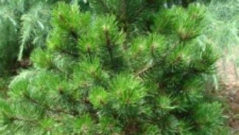 pini nani da vaso conifere nane da terrazzo