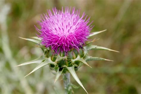 wiccan moonsong milk thistle