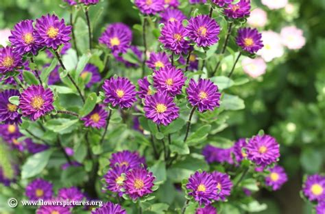 china aster pictures callistephus chinensis pictures