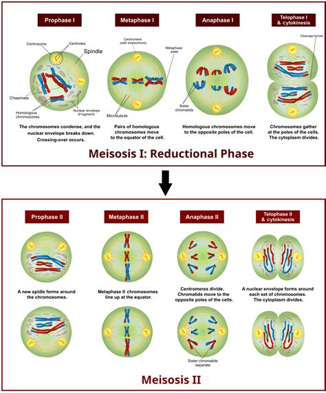 Cell Division | Biology OER | Page 3 Meiosis Stages