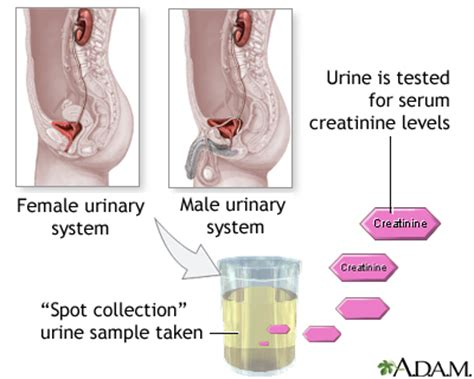 Blood In Urine After C Section by Creatinine Urine Test Penn State Hershey Center