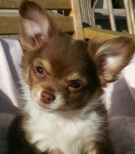 haired chihuahua puppy haired chihuahua puppy for sale images