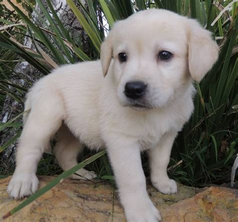 white labrador puppies titan classifieds viewdetails ad