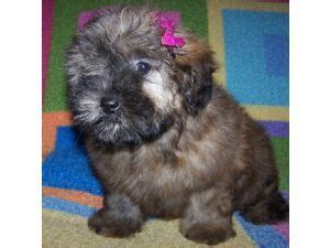 shih tzu breeders in arkansas 222 best images about shih poo on poodles yorkie and poodle mix