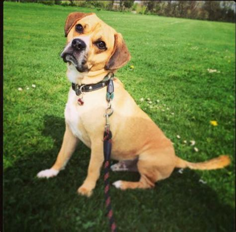 pug x beagle for sale stunning pug x beagle for sale huntingdon cambridgeshire pets4homes