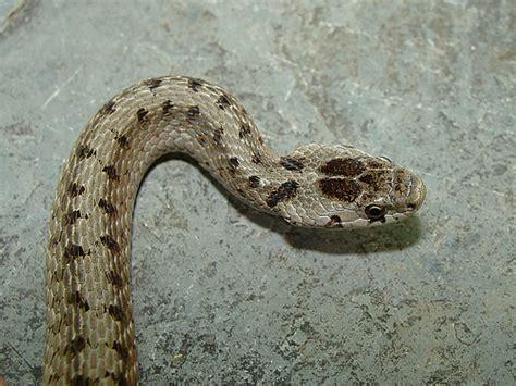 Garden Snake Pa Northern Brown Snake Solon Morse Flickr