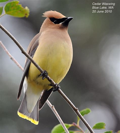 northwest nature notes waxwings the smoothest birds