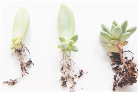 joelix com grow your own succulents