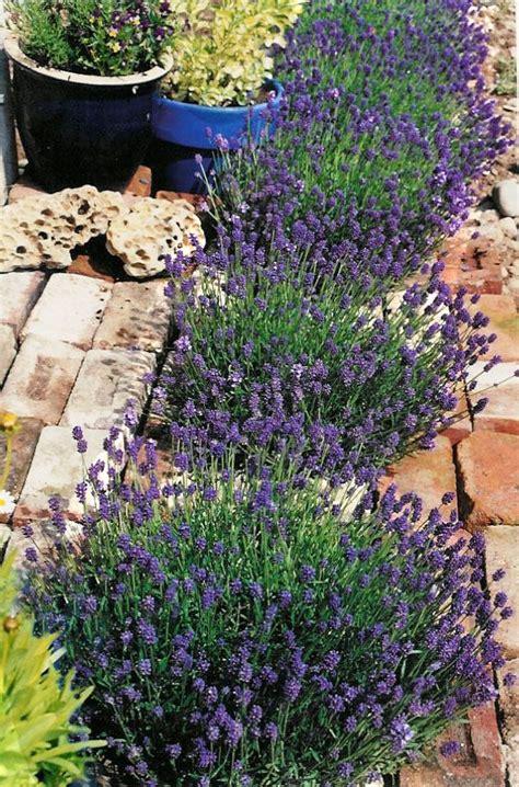 Zone 9 Gardening by Best 25 Zone 9 Gardening Ideas On Perennials