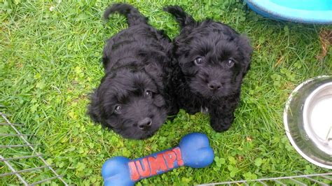 yankee doodle puppies for sale beautiful yankeedoodle pups for sale scunthorpe