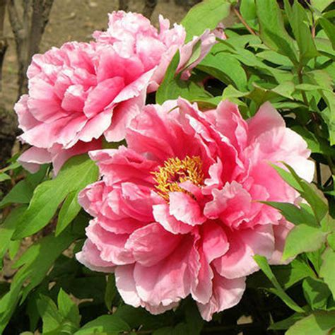 peony color 120 peony seeds 6 colors blue green white black pink