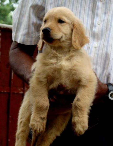 golden retriever price golden labrador price driverlayer search engine