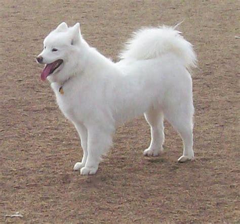 fluffy white puppy white dogs