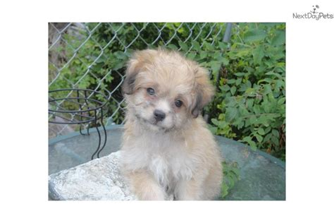 chi poo puppies for sale 2014 chi poo puppies for sale in breeds picture