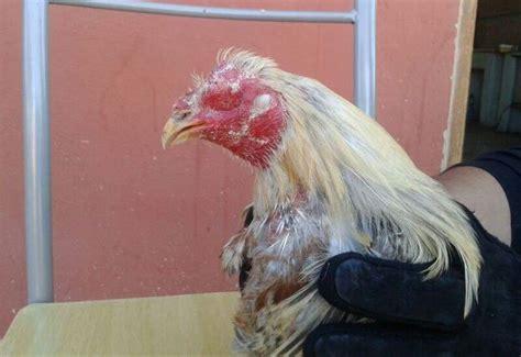 gran jornada gallistica de 40 peleas de gallos en santiago valencia desmantela un gran corral de peleas de gallos y