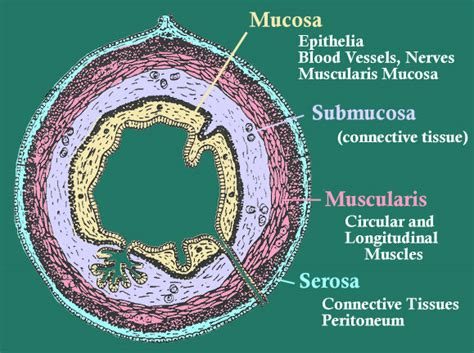 cross section of esophagus tissues