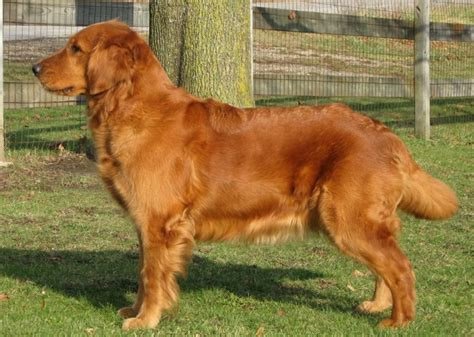 flat golden retriever reg d retrievers flat coated retrievers and golden retrievers cambridge