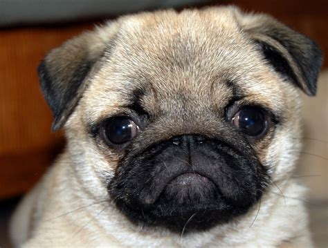 pretty pugs of pictures of pugs puppies www pixshark images galleries with a bite