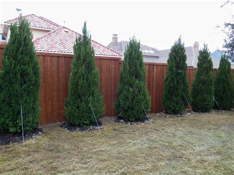 best trees for backyard privacy 17 best best plants for privacy images on pinterest
