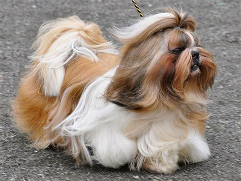 what to feed shih tzu causes of diarrhea shih tzu and what can i give for it