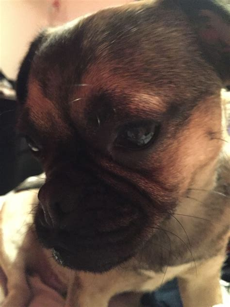 pug x cavalier king charles pug x king charles cavalier oldham greater manchester pets4homes
