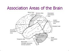 ode to the brain positiveneuro a p 1 brain and associated structures flashcards quizlet