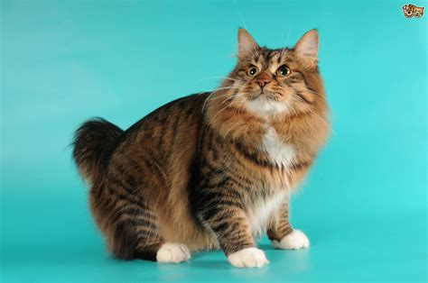 giant house cat big domestic cat breeds related keywords big domestic