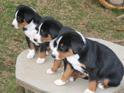 appenzeller sennenhund puppies three appenzeller sennenhund puppies photo and wallpaper beautiful three appenzeller