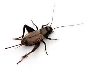 Male Bed Bug House Crickets Economy Exterminators