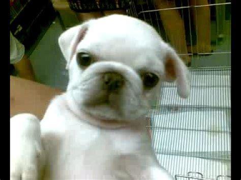 white baby pugs white pug baby