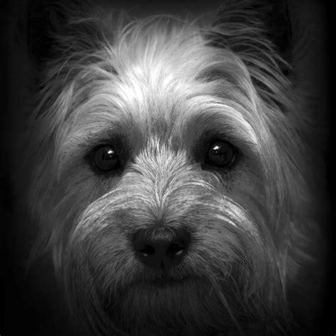 scruff from cairn terrier club print by barbara bradbury die besten 25 cairn terrier ideen auf pinterest cairn