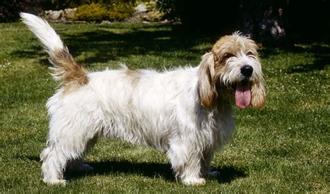 Petit Basset Griffon Vendéen Breed Information