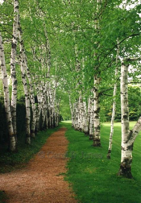 birch tree photo google search birch trees pinterest