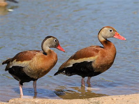 black bellied whistling duck wwt slimbridge