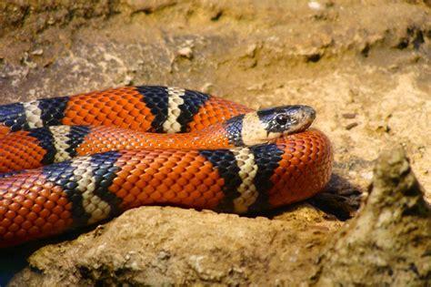 imagenes impresionantes de serpientes image gallery serpientes venenosas