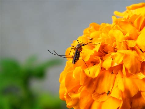 file mosquito on flower jpg wikimedia commons