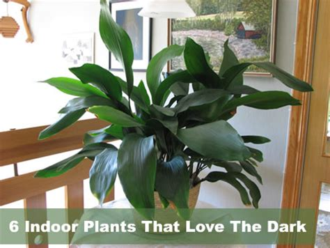 house plants no light 6 indoor plants that love the dark