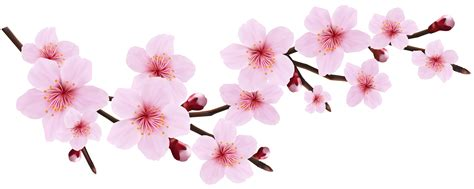 cherry blossom clip cherry blossom clipart transparent pencil and in color