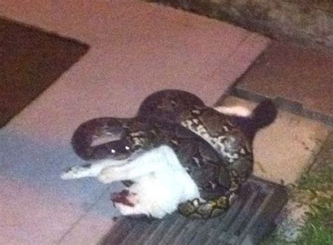 kills cat python kills cat in front of residents at hdb block the new paper