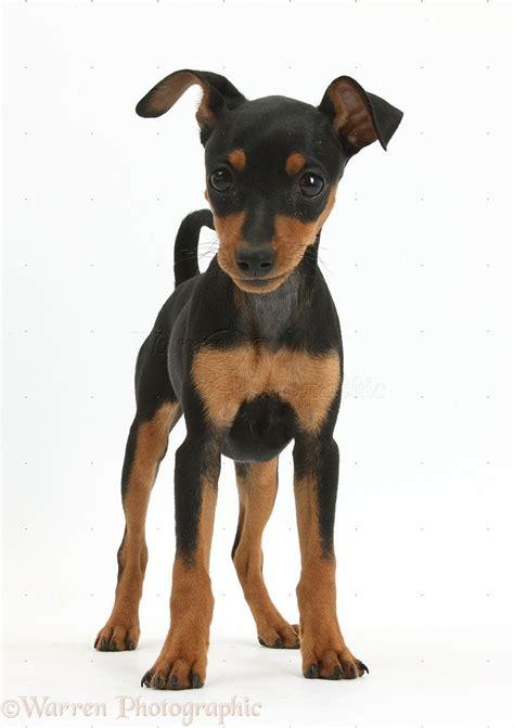 pinscher puppy miniature pinscher puppy photo wp37376