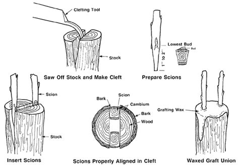 scion plant definition grafting and budding nursery crop plants nc state