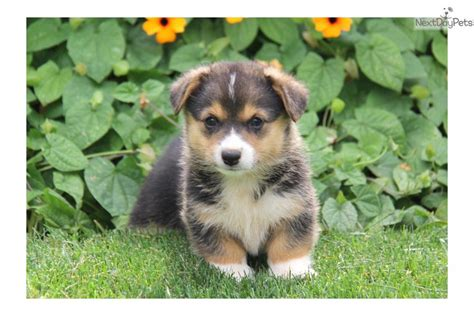 cardigan corgi puppies for sale price meet a corgi cardigan puppy for sale for 1 050 corgi