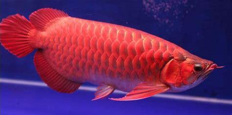 Daftar Bibit Ikan Arwana daftar harga ikan hias apexwallpapers