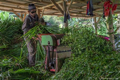 tantangan menyiapkan rumput odot di kemarau panjang aksi
