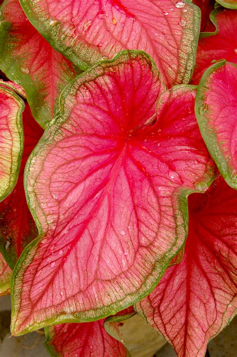 file caladium bicolor florida sweetheart leaf 2000px jpg