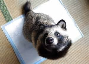 japan s pet raccoon craze threatens its wild raccoon dogs