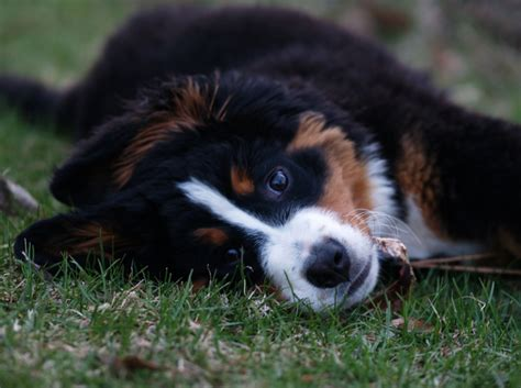 rolling puppies bernese mountain puppy rolling on the grass png hi res 720p hd